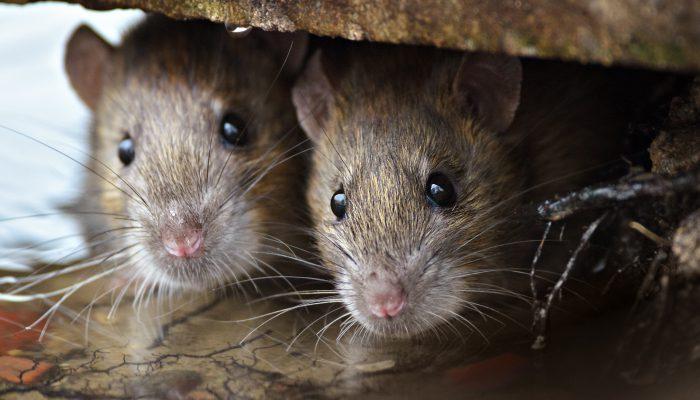 Rotterdam telt evenveel mensen als ratten