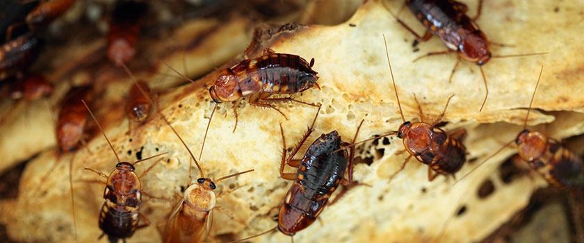 Vieze kakkerlakken op wit stokbrood