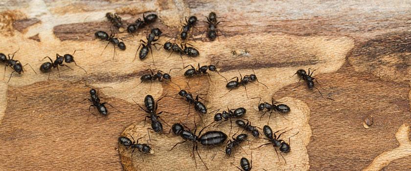 Een familie van mieren op een boomstam