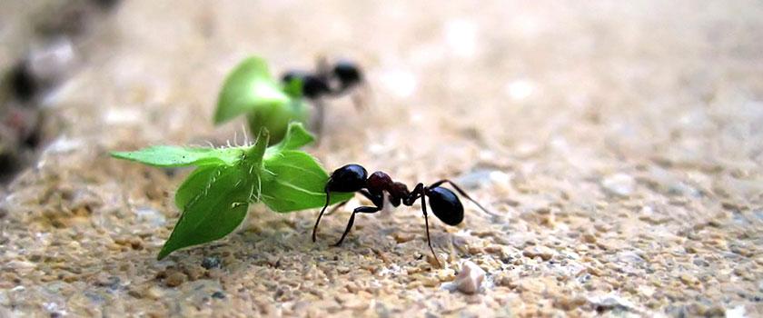 Mieren aan het werk, verslepen groen blad naar nest