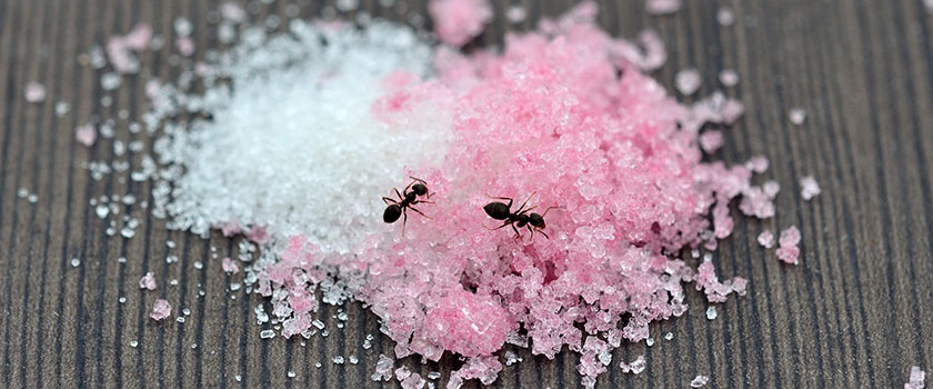 Mieren eten van suiker op eettafel