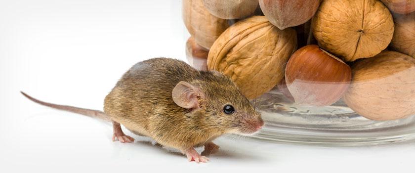 Muis bij glazen pot gevuld met walnoten en hazelnoten
