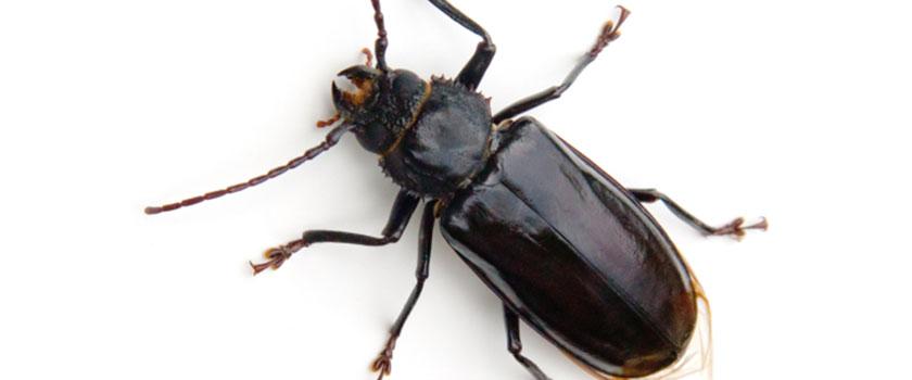https://www.ongediertebestrijden.com/wp-content/uploads/2015/12/boktor-cerambycidae-1.jpg