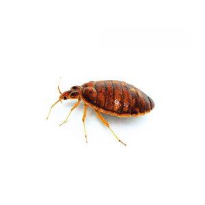 De wetenschappelijke naam voor bedwants is Cimex Lectularius. In de volksmond worden ze ook wandluis of bedluis genoemd. In het Engels heten ze Bedbug, in het Frans worden ze Punaise genoemd en in het Italiaans heten ze Cimice.