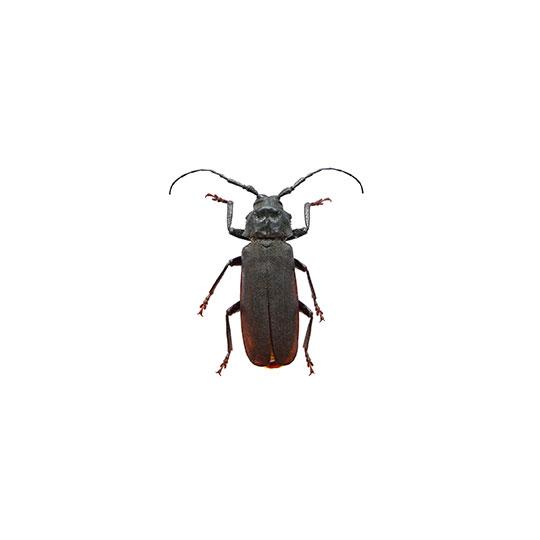 Wanneer we spreken over boktor in hout, dan hebben we het over de larven van de Huisboktor. De omvang van de schade die de boktorlarven aanrichten aan houten constructies is enorm. Boktorren zijn houtborende insecten en de Huisboktor behoort tot de drooghoutboorders.