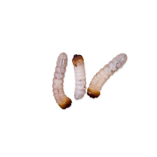 De term houtworm is een verzamelnaam voor verschillende soorten houtborende kevers. En wanneer we over houtworm spreken, dan bedoelen we de larven van deze kevers. De volwassen houtwormkevers leven namelijk niet in het hout, het zijn de larven die zich door het hout boren.