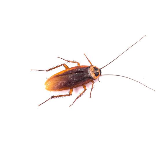 Er bestaan wereldwijd verschillende soorten kakkerlakken. De kakkerlakkensoort die in Nederland het meest voorkomt is de Duitse Kakkerlak. Hier vind je alle informatie over deze kakkerlak.