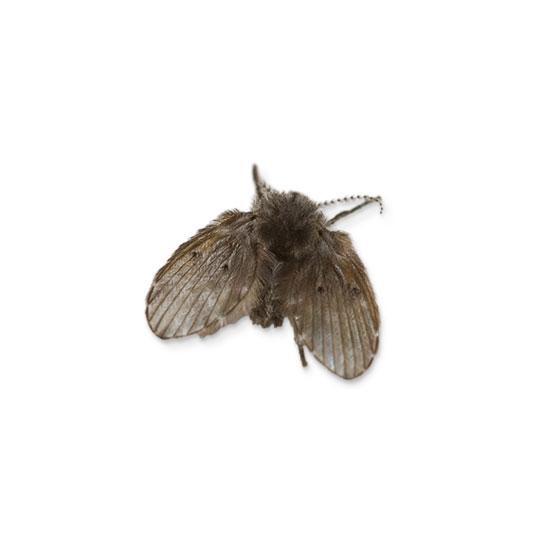 """Motmuggen zijn bekend onder verschillende namen, waaronder de namen aalputmotje, rioolvlieg of motvlieg. Motmuggen behoren tot de onderorde """"muggen"""" en hebben dus ook een steeksnuit. Motmuggen kunnen hier echter niet mee steken. Motmuggen zijn niet verwant aan motten."""