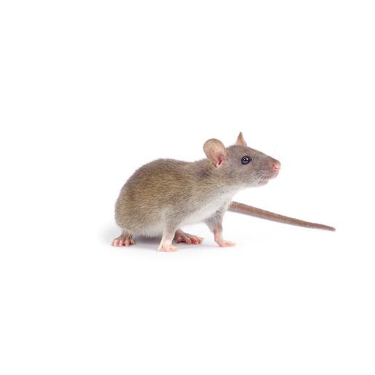 Muizen zijn knaagdieren, de meest vruchtbare zoogdieren die er bestaan. Ook is de muis, na de mens, het zoogdier met de grootste verspreiding over de wereld. Muizen leven graag in de nabijheid van de mens. Vanwege onze comfortabele huizen en het aanbod van voedsel.