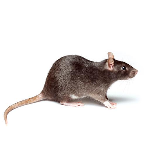 Ratten zijn zoogdieren en behoren tot de orde van de knaagdieren. In Nederland komen vooral de Bruine Rat (Rattus norvegicus) en in mindere, maar steeds grotere mate, de Zwarte Rat (Rattus rattus).