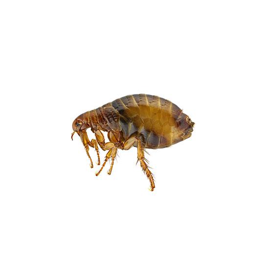Vlooien behoren tot de orde van de gevleugelde insecten. Vlooien hebben echter geen vleugels. Deze zijn verloren gegaan tijden hun evolutie. Vlooien zijn bloedparasieten en zijn hierdoor in de omgeving van mens of dier een van de belangrijkste soorten plaagdieren.
