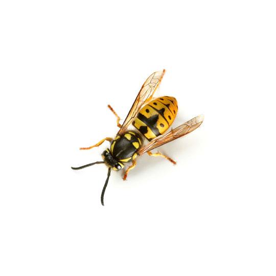 Wespen komen in Nederland veel voor en komen graag even kijken wat je allemaal voor lekkers mee naar buiten hebt genomen. Met name in de nazomer beginnen wespen hinderlijk en vervelend gedrag te vertonen en lijken ze sneller te steken.
