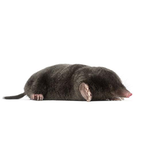 Een mol wordt meestal tussen de 11 en 16 centimeter groot en is goed te herkennen aan zijn fluwelen, zwarte vacht.