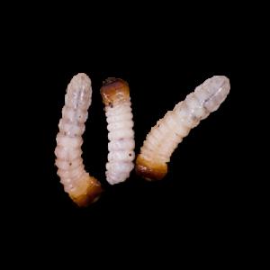 Foto van Houtwormen