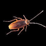 Afbeelding van een kakkerlakken