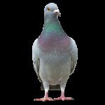 Afbeelding van een duiven