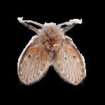 Afbeelding van een motmuggen