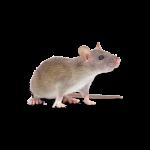 Afbeelding van een muizen