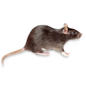 Foto van Ratten