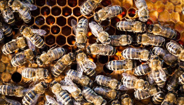 Bijen bij nest
