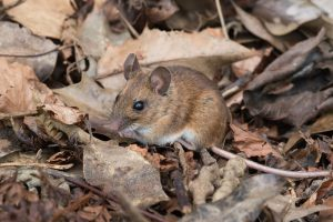 bosmuis-muizensoort