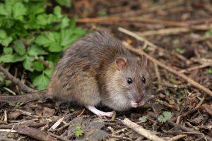bruinerat-rat