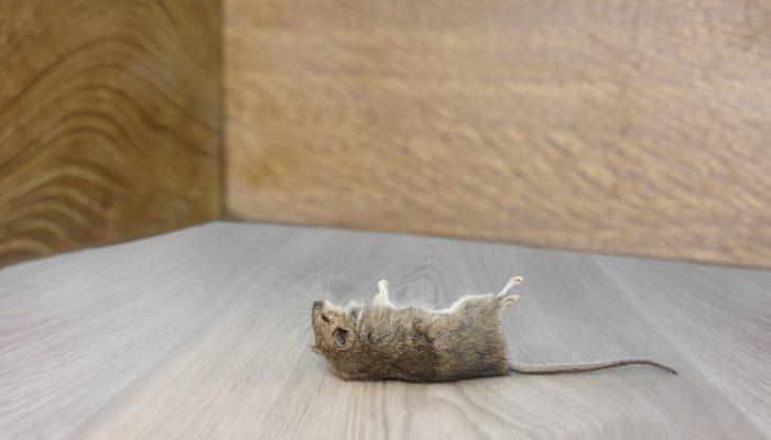 Dode muis in hoek van kamer