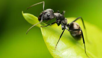 Draaigatje-mierensoort
