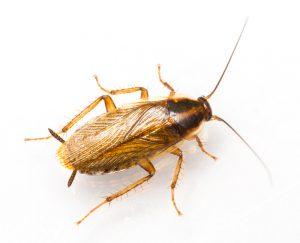 duitse-kakkerlak