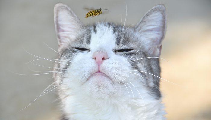 wesp vliegt voor kat langs