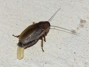 eipakket-kakkerlak-vrouwtje