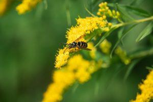 wesp-bloem