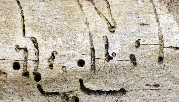 Door houtworm aangetast hout