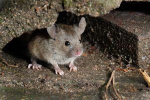 huismuis-muizensoort