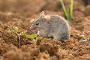 huismuis-kleine-muis
