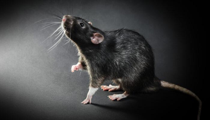 Rattenstaarten in de knoop