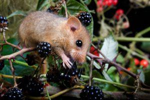 Slaapmuis-muizensoort