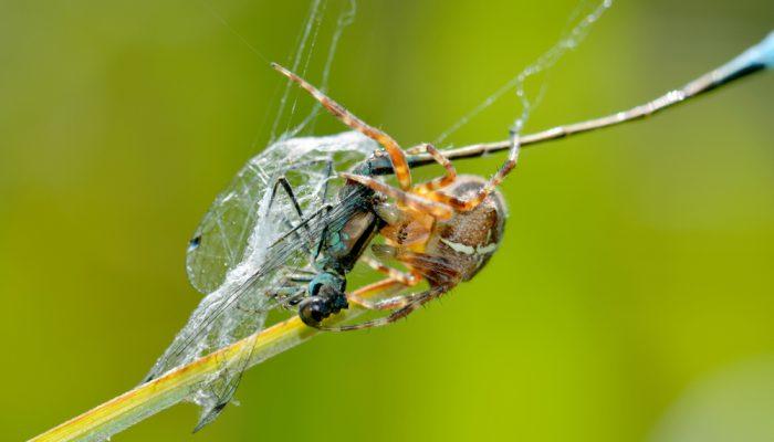 Wistjedatjes – Spinnen