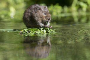 woelrat-rat