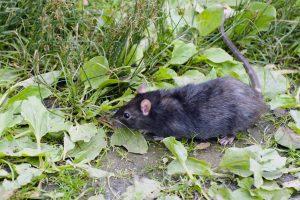 zwarte-rat