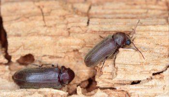 boktorkevers op hout