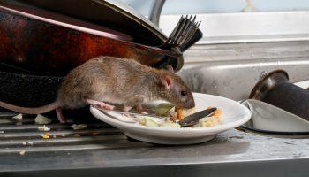 bruine rat in huis aan het eten