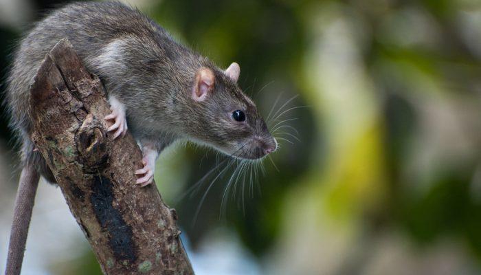 bruine rat op boomstronk