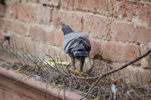 duif achter duivenpinnen