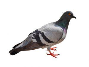 duif uiterlijk witte achtergrond