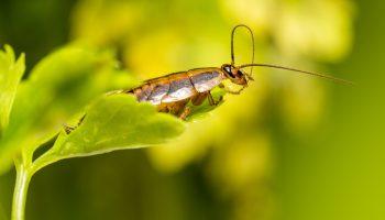 Duitse kakkerlak op een blad