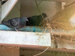 duivennest op balken van een huis