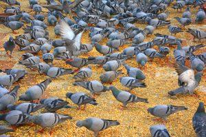 duiven bij elkaar als duivenplaag
