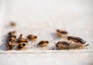 familie-duitse-kakkerlak-kakkerlakkenplaag
