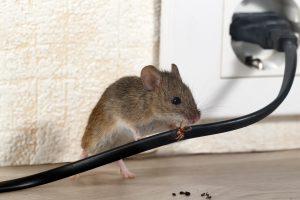 muis-knaagschade-kabels